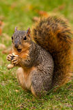 Fox Squirrel Eating A Peanut stock photos