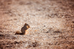 Fox squirrel eats soybeans. In a harvested soybean field Royalty Free Stock Photos