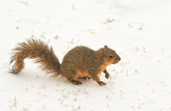 Fox squirrel on frozen snow Stock Images