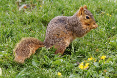Fox Squirrel in the Grass. A Fox Squirrel poses in the grass. These rambunctious squirrels can be found throughout Iowa climbing trees and raiding bird feeders Stock Photos