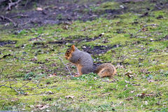 Fox Squirrel in the Grass. Fox squirrels vary in color from dark orange to orange-gray. The top of its ears are lighter in color than the rest. They chirp and stock photography