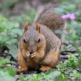 Fox Squirrel Eating Stock Photography