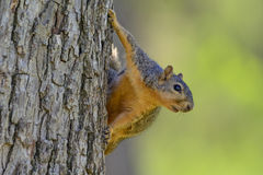 Fox Squirrel Hanging on Side of Tree looking toward Right Comical funny landscape orientation Stock Photos