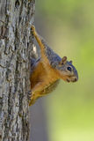 Fox Squirrel Hanging on Side of Tree looking toward Right Comical funny. Comical Squirrel on side of tree trunk with blurred green background. Begs for a caption Stock Photos