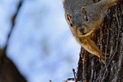 Fox Squirrel Hanging Upside down in Tree Looking royalty free stock image