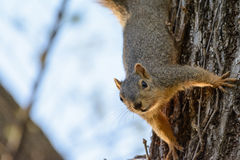 Fox Squirrel Hanging Upside down from Tree. Text Left Stock Photo