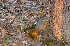 Fox Squirrel Illinois wildlife. Fox Squirrel Sciurus niger running down a tree at Clinton Lake State Recreation Area in Illinois Royalty Free Stock Photo