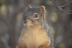 Fox Squirrel stock images