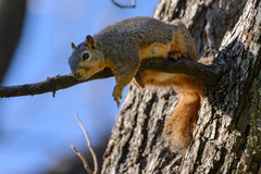 Fox Squirrel Laying on Branch flipping off camera Royalty Free Stock Photos