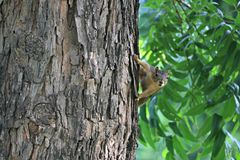 A fox squirrel peaking around a large tree in a forested area near the river. Fox squirrels are curious and playful but also shy creatures Stock Photo