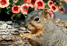 Fox Squirrel Portrait Stock Photos