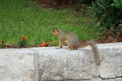 A Fox Squirrel on a rock retaining wall with a flowered interior. stock photography