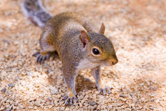 Fox squirrel (sciurus niger) Stock Images