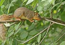 Fox Squirrel (sciurus niger). On a tree branch Stock Photos