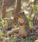 Fox Squirrel (Sciurus niger) Royalty Free Stock Image