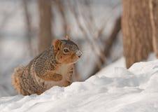 Fox Squirrel (Sciurus niger). In the snow Stock Photos