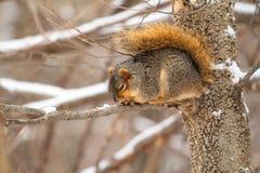 Fox Squirrel, Sciurus niger Stock Photo