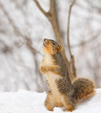 Fox Squirrel, Sciurus niger Royalty Free Stock Photos