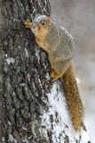 Fox Squirrel (Sciurus niger) Royalty Free Stock Photos