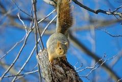 Fox Squirrel Stock Photos