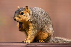 Fox Squirrel Scratching an Itch Stock Photo