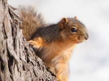 Fox squirrel. Sitting on a tree Stock Photos