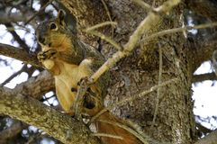 Fox squirrel sitting on tree branch eating a peanut Royalty Free Stock Photo
