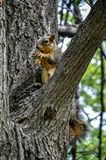 Fox squirrel sitting on tree branch eating a peanut Stock Photos