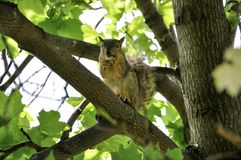 Fox squirrel sitting on tree branch eating a peanut Stock Photo