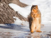 Fox squirrel in winter. Fox squirrel sitting up on ice-covered ground on a cold winter day Royalty Free Stock Image