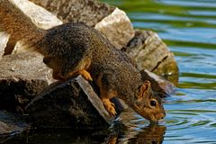 Fox Squirrel Taking a Drink royalty free stock images