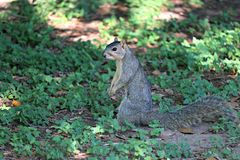 A fox squirrel on thr ground beneath an oak tree in Texas. royalty free stock photo
