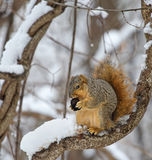 Fox Squirrel in a Tree. Fox squirrel, Sciurus niger, on a snow covered tree branch eating a walnut Royalty Free Stock Photo