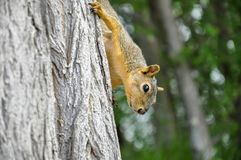 Fox squirrel on tree trunk climbing down. In Lewiston, Idaho Royalty Free Stock Images