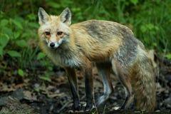 Fox Stalking. Adult fox stalking in the undergrowth Stock Photos