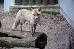Fox standing on a tree trunk Royalty Free Stock Photo