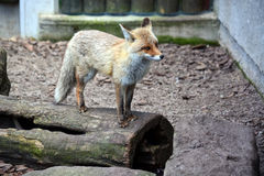 Fox standing on a tree trunk Stock Photo