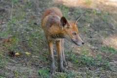 Fox stares Stock Photos