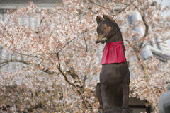 Fox statue at Fushimi Inari Shrine with sakura tree Stock Photography