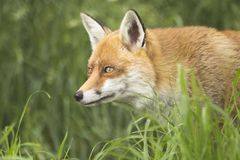 Fox stawia czoło portreta zamknięty up Obraz Royalty Free