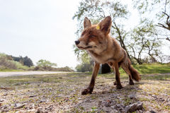 Fox stay Stock Photography