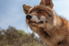 Fox stay Royalty Free Stock Photos