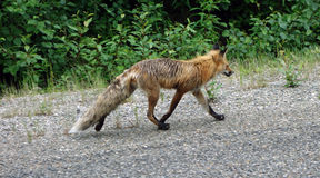 A fox striding along a road in canada Royalty Free Stock Photo