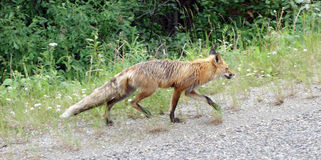 A fox striding along a road in canada Royalty Free Stock Photos