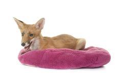 Fox in studio Stock Images