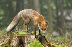 Fox on stump Royalty Free Stock Photography
