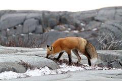 Fox su roccia Immagini Stock