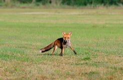 Fox su un campo Immagine Stock Libera da Diritti