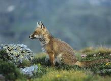 Fox sul passo di montagna Immagini Stock Libere da Diritti