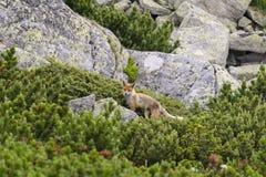 Fox sulla roccia Montagne di Tatra slovakia immagini stock libere da diritti